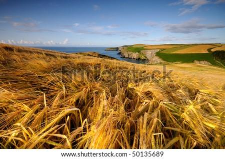 Golden grains of Irish fields - stock photo