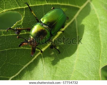 Golden Green Stag Beetle Lamprima latreillii - stock photo