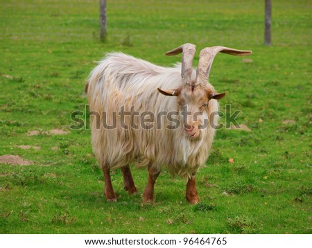 Golden Guernsey Goat with long hair and big long horns looking at the camera and smiling - stock photo