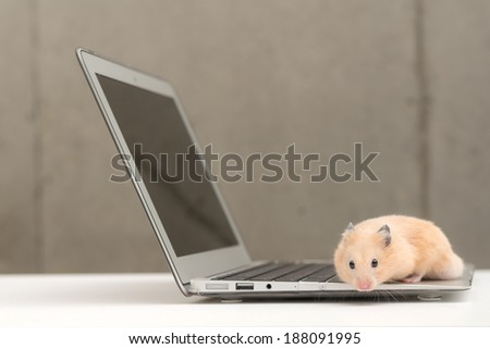 Golden Hamster and laptop computer