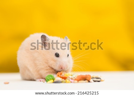 Golden Hamster eating pet food. - stock photo