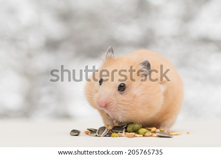 Golden Hamster eating pet food on twinkle background. - stock photo