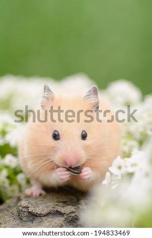 Golden Hamster eating sunflower seed - stock photo