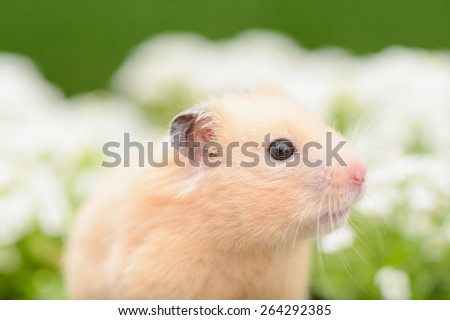 Golden Hamster in flower garden. - stock photo