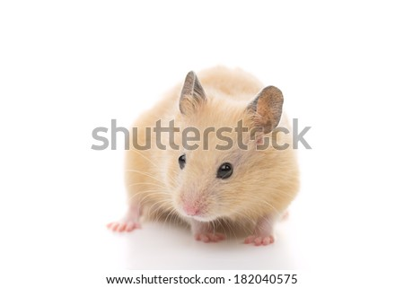 Golden Hamster, isolated on white background. - stock photo