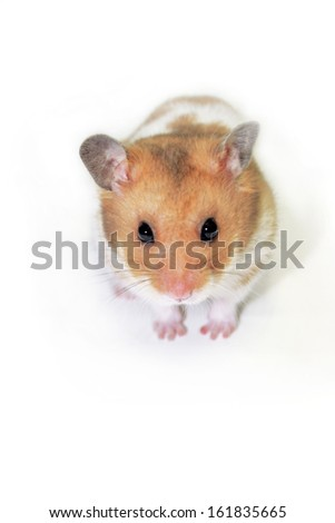 Golden hamster isolated over a white background - stock photo