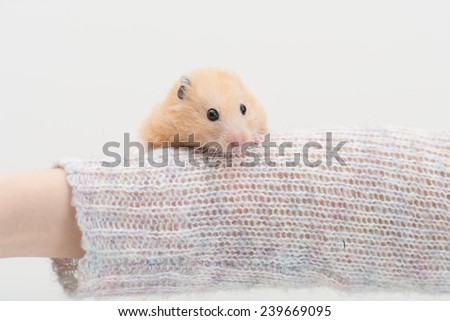 Golden Hamster on woman's arm. - stock photo