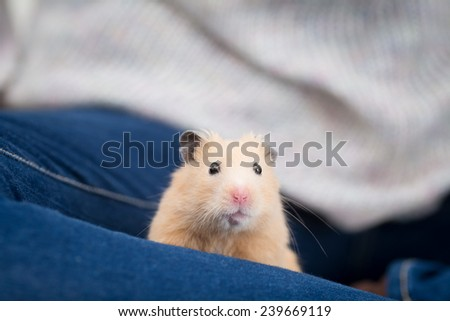 Golden Hamster on woman's leg. - stock photo