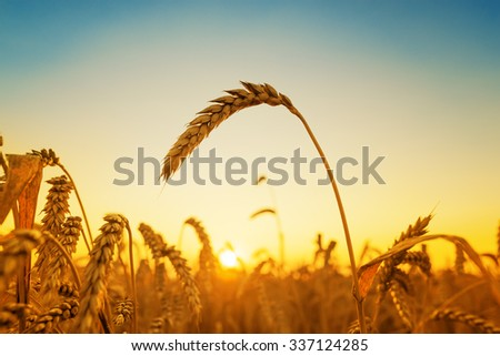 golden harvest and sunset over field - stock photo