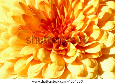 Golden harvest chrysanthemum closeup