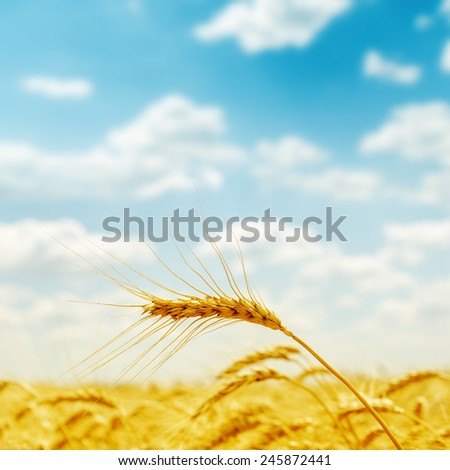 golden harvest close up on field. soft focus - stock photo