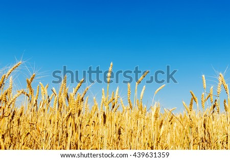 golden harvest in field and clear deep blue sky - stock photo