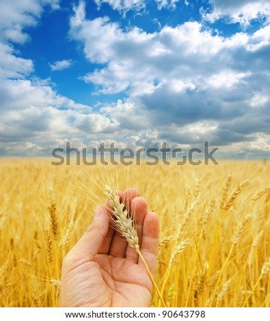golden harvest in hand over field under dramatic sky - stock photo