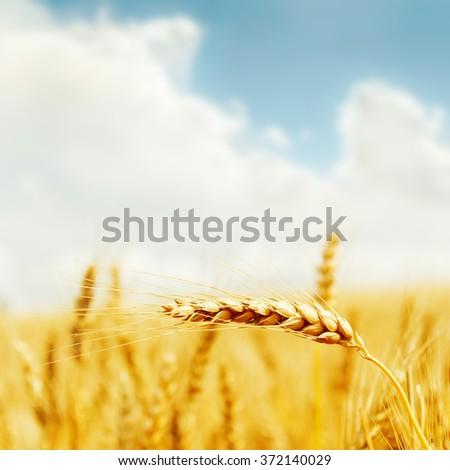 golden harvest on field. soft focus - stock photo