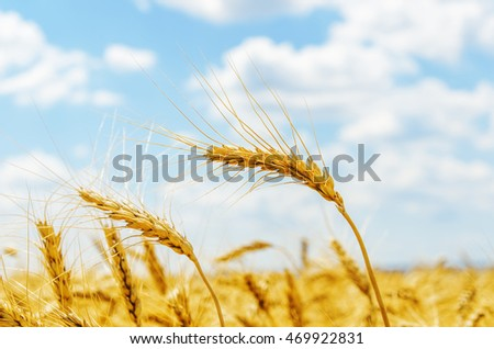 golden harvest on field. soft focus