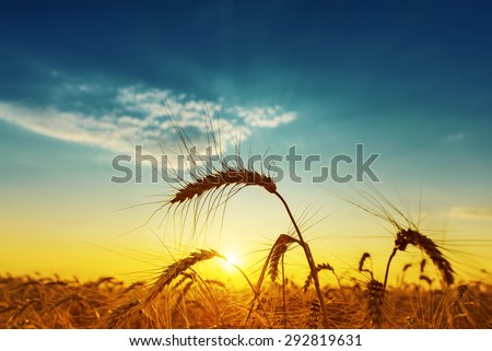 golden harvest under blue cloudy sky on sunset. soft focus - stock photo
