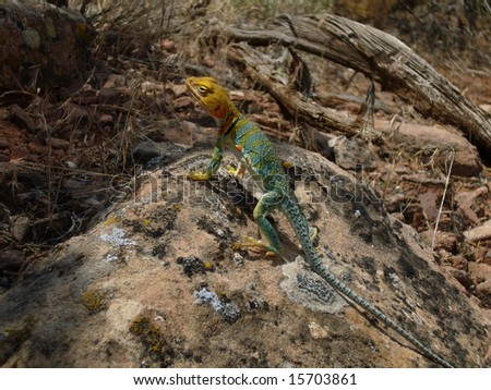 Golden headed Collared Lizard, in Colorado National Monument, #3