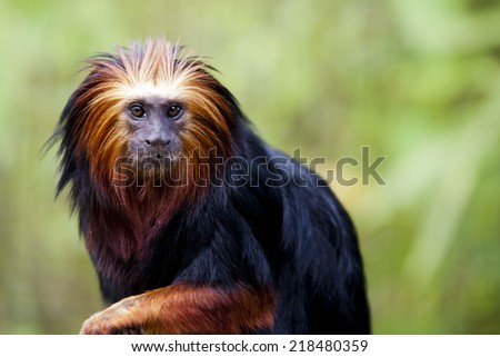 Golden-headed lion Tamarin: An endangered species endemic to Brazil. Conservation status Endangered - stock photo