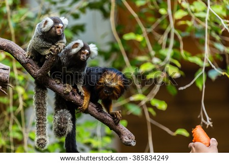 Golden Headed Lion Tamarin And Common Marmoset.