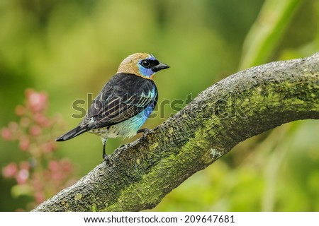 Golden-hooded Tanager perched on a large branch photographed in Costa Rica. - stock photo