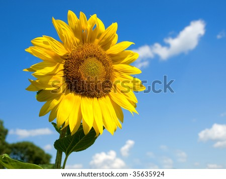 Golden isolated sunflower against a blue sky and clouds - stock photo