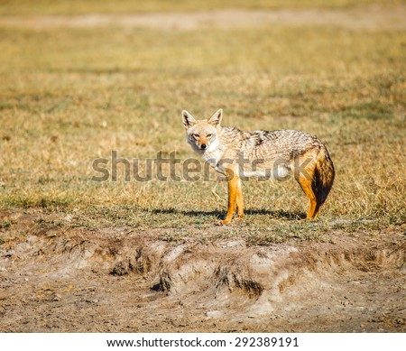 Golden Jackal in wildlife on Tanzania - stock photo