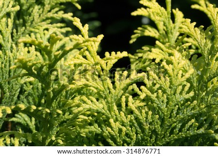 Golden Japanese cypress' leaves (Chamaecyparis obtusa) - stock photo