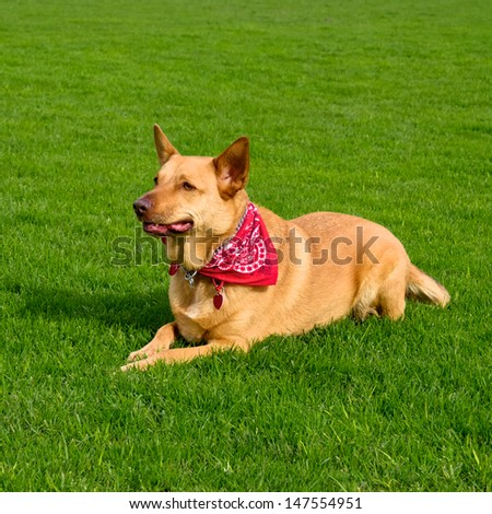 golden kelpie mixed breed dog wearing a red bandanna laying on grass as it watches its owner  - stock photo