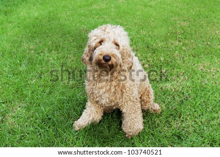 Golden labradoodle sitting in lush grass. - stock photo