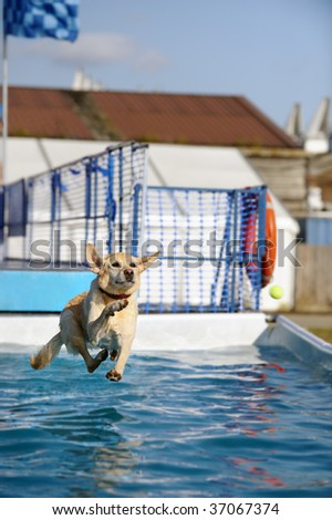 Golden Labrador jumping into a pool of water - stock photo