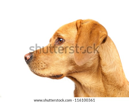 Golden Labrador Profile Isolated On White - stock photo