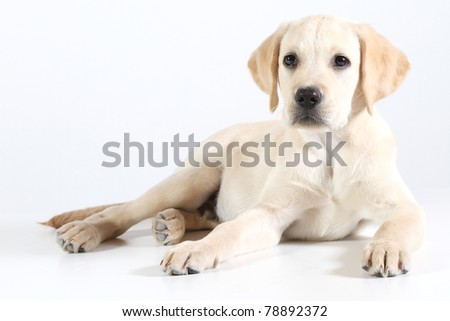 Golden Labrador puppy on a white background - stock photo