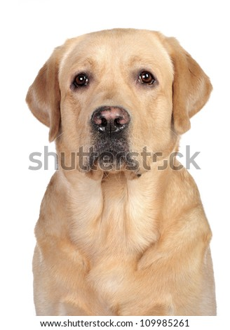 Golden labrador sitting in studio in front of the white background - stock photo