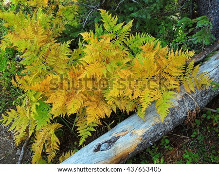 golden lady ferns in fall near nymph lake   in rocky mountain national park, colorado        - stock photo