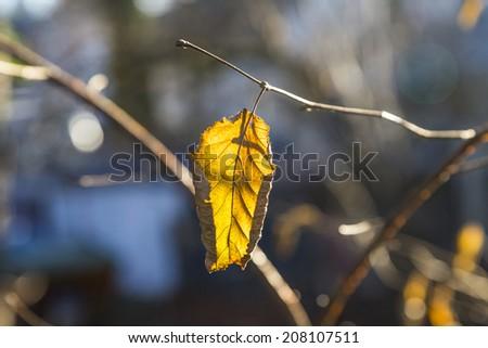 Golden leaves in autumn in sunlight - stock photo