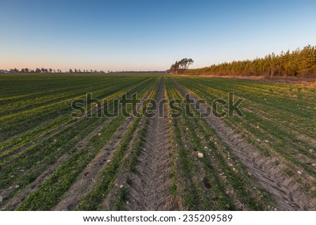 golden light on young cereal field