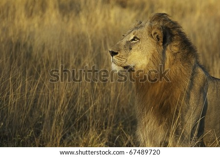 Golden Lion King - stock photo