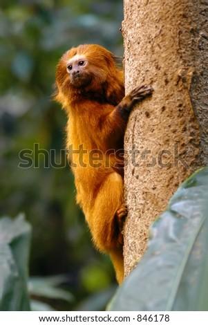 Golden Lion Tamarin - stock photo
