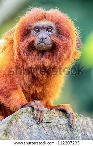 Golden Lion Tamarin perched on log close up view - stock photo