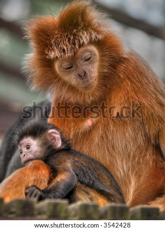 Golden Lion Tamarin With a Child