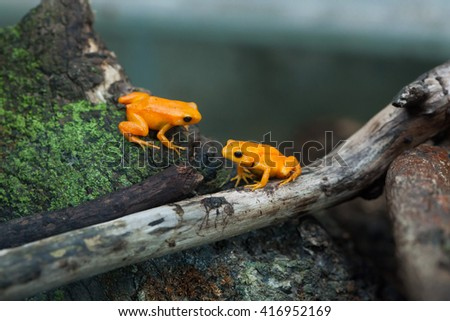 Golden mantella (Mantella aurantiaca). Wild life animal.  - stock photo
