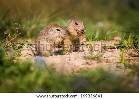 Golden Mantled ground squirrel - stock photo
