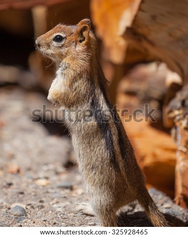 Golden-mantled Ground Squirrel (Callospermophilus lateralis) in the Eastern Sierras of California - stock photo