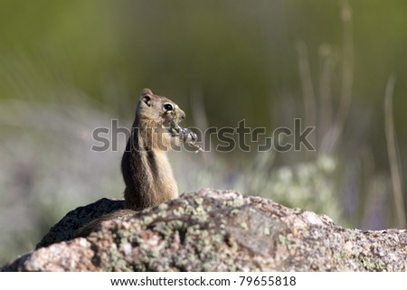 Golden-mantled Ground Squirrel eats Silvery Lupine wildflowers in Black Canyon of the Gunnison National Park in Colorado - stock photo