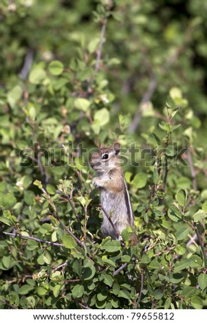 Golden-mantled Ground Squirrel in Black Canyon of the Gunnison National Park in Colorado - stock photo