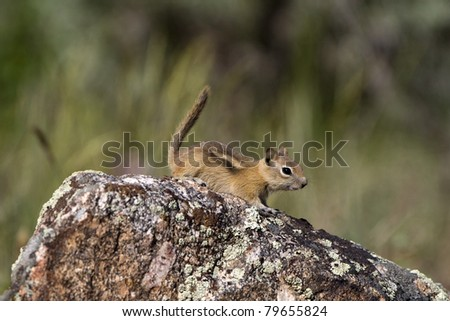 Golden-mantled Ground Squirrel on a colorful rock in Black Canyon of the Gunnison National Park in Colorado - stock photo