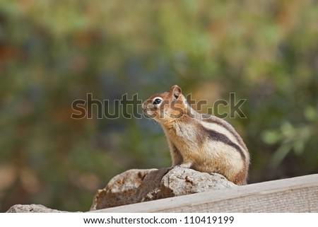 Golden-mantled Ground Squirrel profile. - stock photo