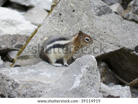 Golden Mantled Squirrel in the Canadian Rockies