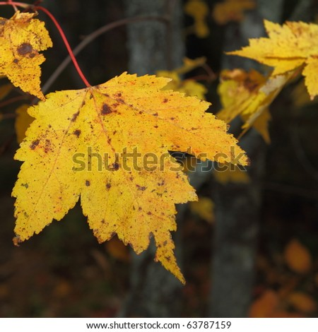 Golden maple leave against a forest background - stock photo
