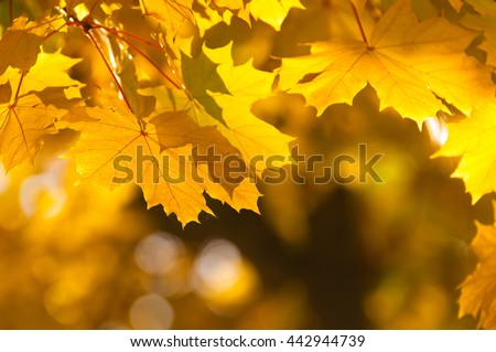 Golden maple leaves against blurry golden-brown background; Warm and sunny autumn day; Vivid autumn colors - stock photo